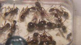 Aphaenogaster beccarii
