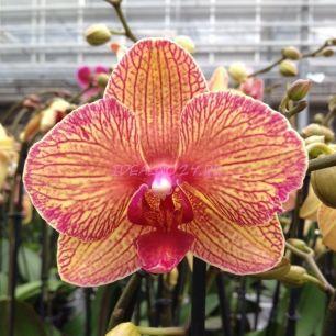 Орхидея Kaleidoscope (Калейдоскоп) 12/60