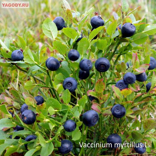 Чернично-Брусничный нектар, нектар черники и брусники холодного ... cd533a66d26