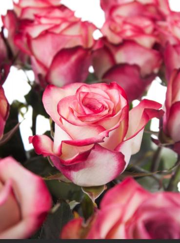 15 роз Paloma