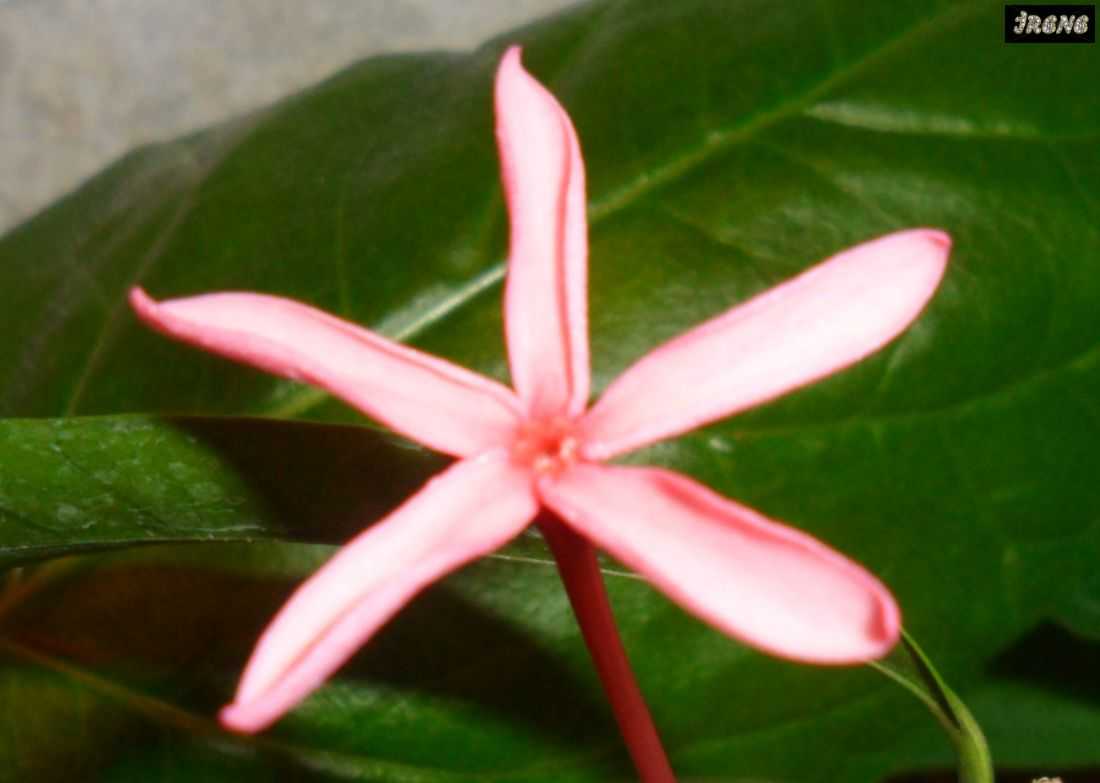 Kopsia sp.(pink flower)