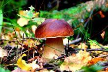 Мицелий Белого гриба. 1кг