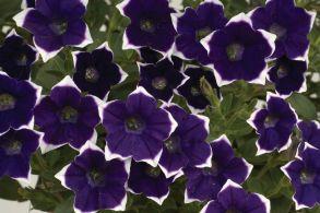 № 321 Петуния Cascadias Rim Violet