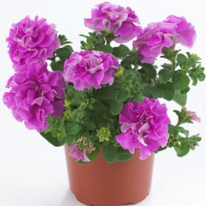 № 301 Петуния Surfinia Double Lilac