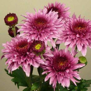 № 10 Хризантема Beppie Purple