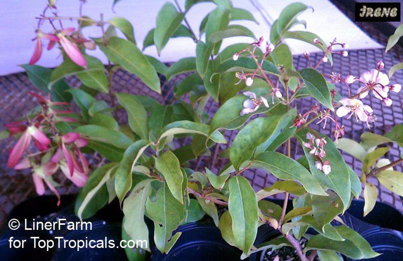 Hiptage lucida variegata