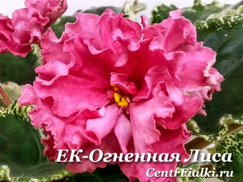 ЕК-Огненная Лиса (Е.Коршунова)