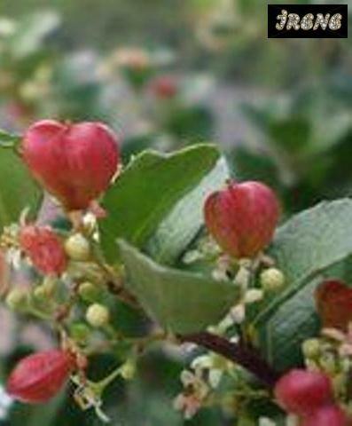 ❤Maytenus diversifolia-Дерево-сердце❤
