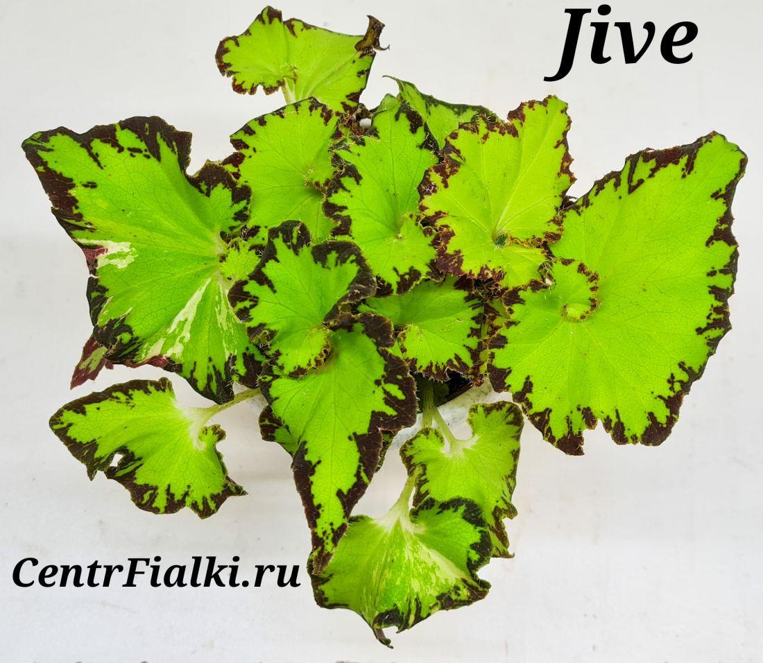 Begonia Jive