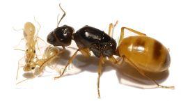 Camponotus turkestanus