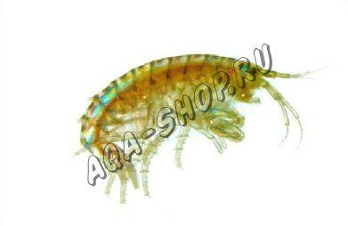 Тропический гаммарус (Gammarus Hyalella azteca) (Живой)