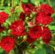 Роза плетистая Ред Каскад саженцы