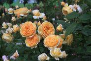 Роза кустарниковая Крон Принцесс Маргарет, Д.Остин