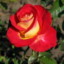 Роза чайно-гибридная Френдшип