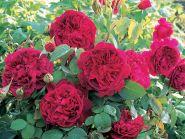 Роза парковая Вильям Шекспир, Д.Остин