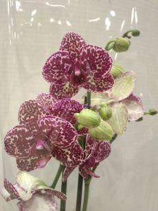 Орхидея Дикий Кот ( Wild Cat )