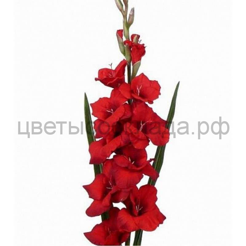 Гладиолус RED