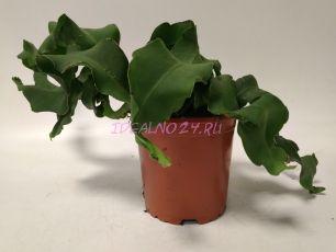 Эпифиллум (guatemalensis) 17 см.