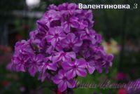 Флокс 'Валентиновка' / Phlox 'Valentinovka'