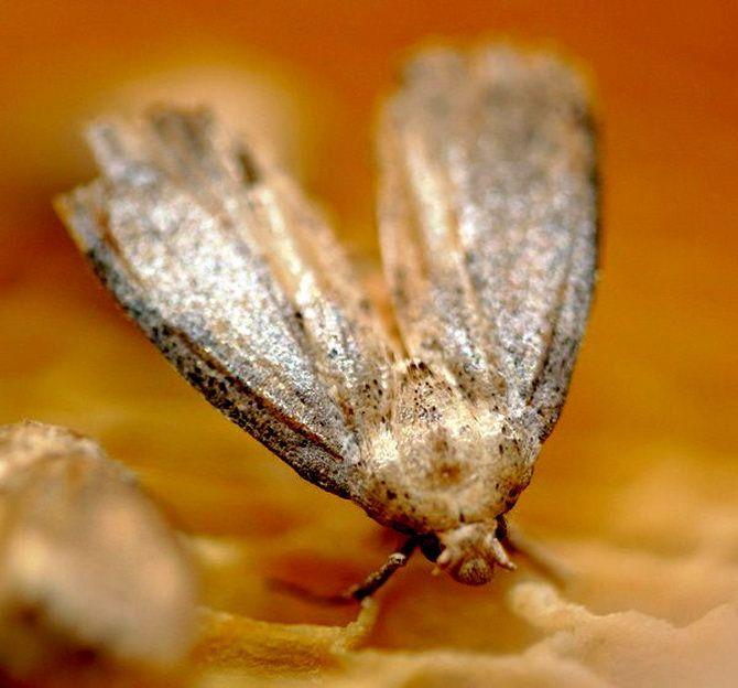 Огневка мумие,гериатрическое средство для профилактики возрастных изменений