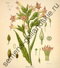 "Табак ""Латакия"" (Latakia) 10 семян"