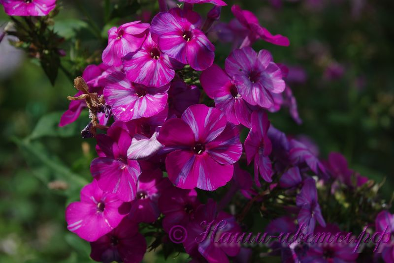 Флокс 'Отумн Джой' / Phlox 'Autumn Joy'