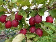 Яблоня традиционная Китайка Долго