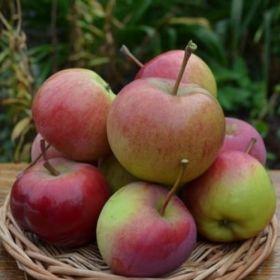 Яблоня традиционная Родниковое