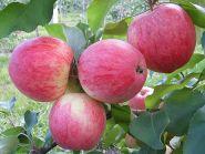Яблоня традиционная Сладкая Нега