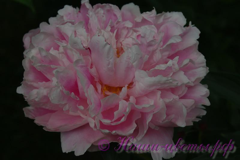 Пион травянистый 'Триумф дю норд' / Paeonia 'Triomphe du Nord'