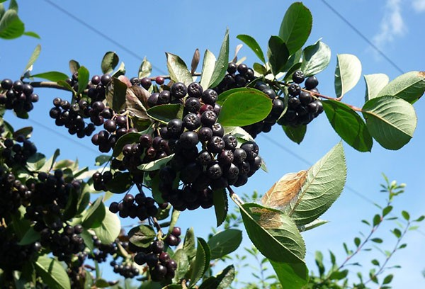 саженцы аронии  (рябины черноплодной)