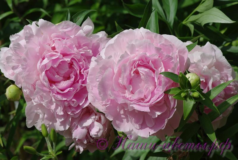 Пион травянистый 'Пинк Гийант' / Paeonia 'Pink Giant'