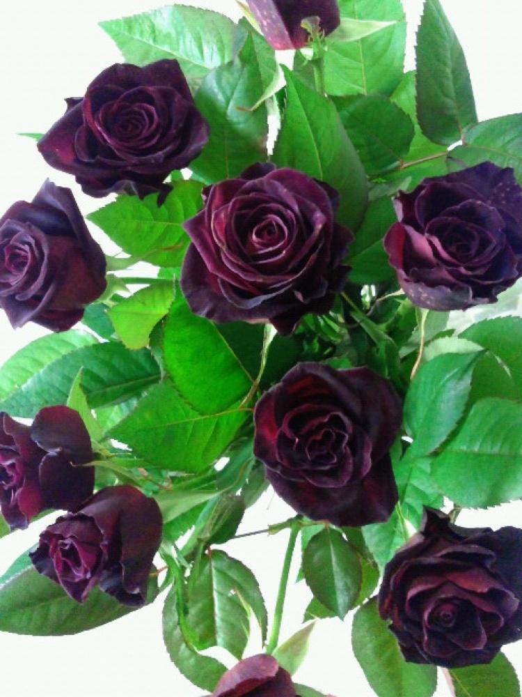 Роза Черная королева. (Black Queen) Плетистая
