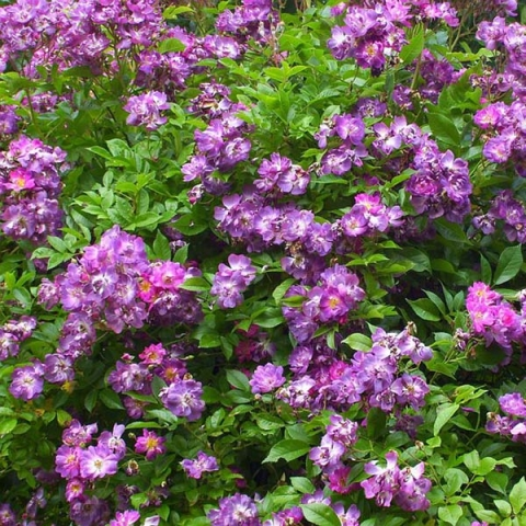 Роза Вайльхенблау. (Veilchenblau) Плетистая