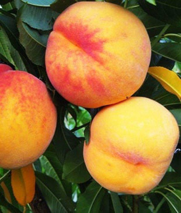 саженцы персика санрайз  отправка с 1 сентября2020г