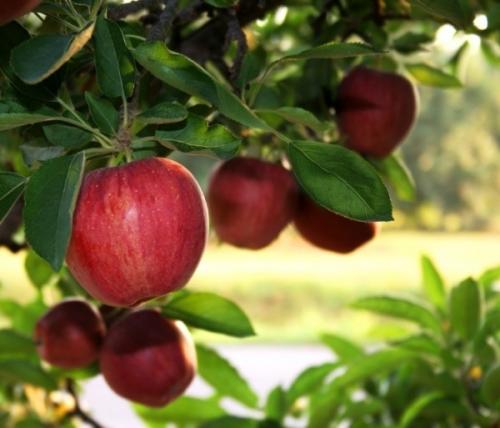 саженцы яблони  сорт Джонагоред Супра