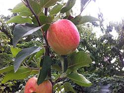 саженцы  яблони Дельбарестивале (Делькорф)