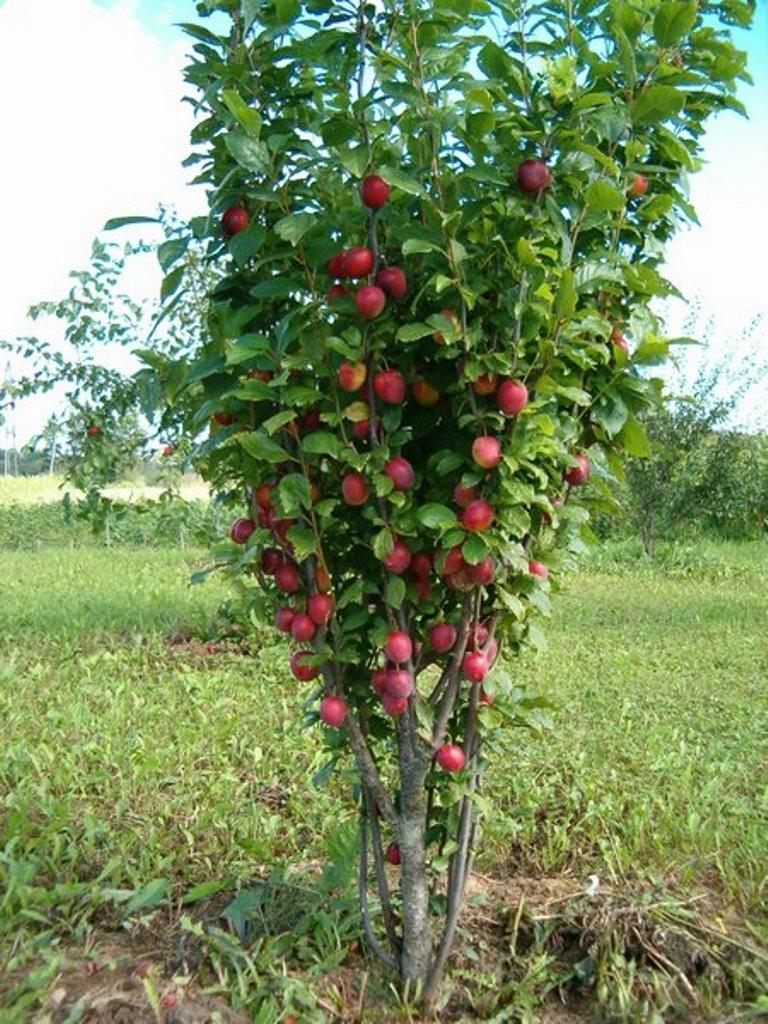 обязаны низкорослые плодовые деревья для сада фото и названия способ хорош тем