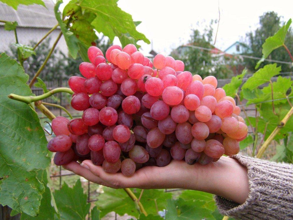 саженцы винограда Кишмиш НИКСИ