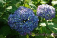 """Гортензия крупнолистная """"Бесконечное Лето / Hydrangea macrophylla Endless Summer"""""""