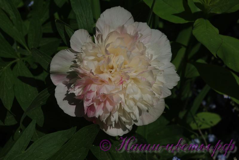 Пион травянистый 'Мутабилис Плена' / Paeonia 'Mutabilis Plena'