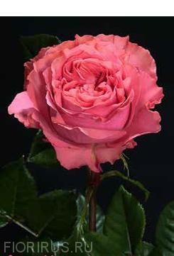 Роза Эквадорская Coral X-Pression