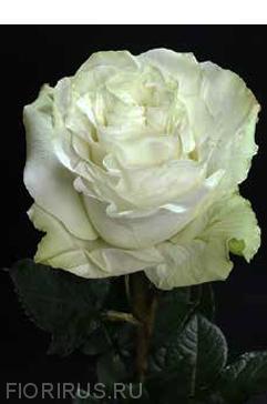 Роза Мунстоун (Moonstone)