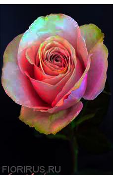 Роза Эквадорская Секрет Гарден (Secret Garden)