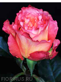 Роза Эквадорская  Фри Спирит (Free Spirit)