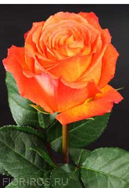 Роза Эквадор Хай Интенс (High Intenzz)