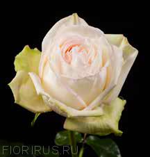 Роза Эквадор Вайт Охара (White O'hara)