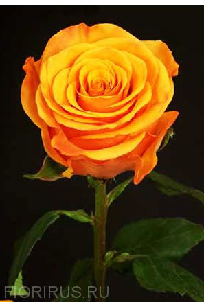 Роза Эквадор Тайкун (Tycoon)