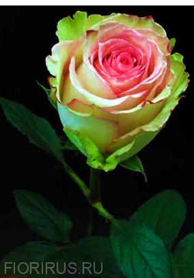 Роза Эквадор Эсперанс (Esperance)