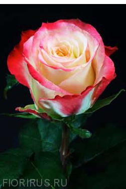 Роза Эквадор Кабарет (Cabaret)